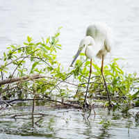 White heron with a small fish in his beak