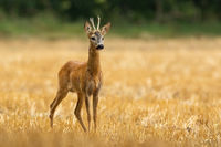 Young roe deer standing alone on yellow stubble in summer