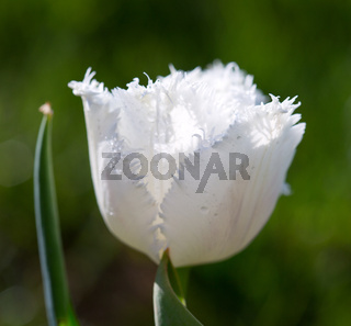 White close up of tulip. Spring flower background.