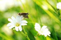 Kleiner Würfel-Dickkopffalter auf weißen BlumenVII