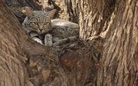 Afrikanische Wildkatze, Falbkatze, African Wildcat