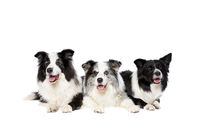 three border collie dogs isolated on white background