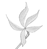 Grapes leaf. Black and white imitation of pencil drawing