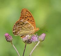 Kaisermantel 'Argynnis paphia'