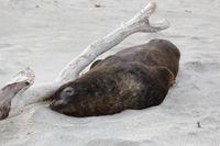 New Zealand Sea Lion (Phocarctos hookeri) nearly asleep on the beach