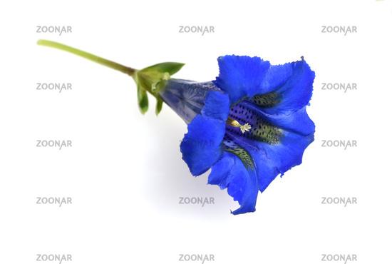 Enzian, Gentiana acaulis