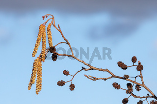 Blüten und Fruchtstände der Schwarzerle