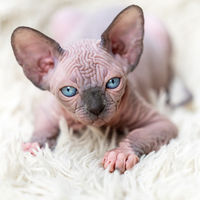 Portrait of Canadian Sphynx Cat kitten looking at camera on white background, carpet with long pile
