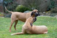female of guardian dog Fila Brasileiro, Brazilian Mastiff