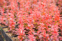 Barberry plants outdoors at the nursery cultivated