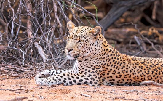 Leopard, Kgalagadi-Transfrontier-Nationalpark, Südafrika, (Panthera pardus) | Leopard, Kgalagadi Transfrontier National Park, South Africa, (Panthera pardus)
