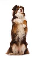Australian shepherd dog sitting on hind legs