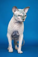 Portrait of cute Canadian Sphynx cat - breed of cat known for its lack of fur