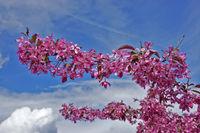 Blutpflaume, purple-leaf plum, Prunus cerasifera 'Nigra'
