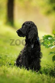 Cocker spaniel puppy in a meadow