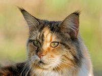 Maine Coon Katze auf der Wiese
