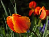 Tulpenblüte im Garten