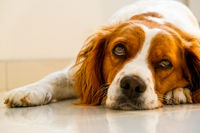 Brittany Spaniel dog lying down on cold floor