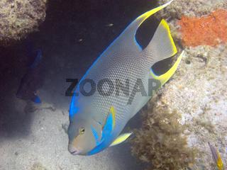 Bermuda blue angelfish