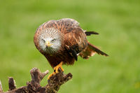 Red kite, bird of prey portrait. The bird sits on a stump, looks straight into the camera