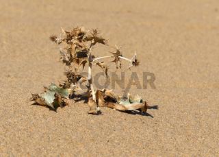 Stranddistel auf der Düne von Piscina
