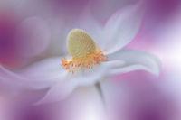 Beautiful Nature Background.Macro Shot of Amazing Spring Magic Anemone Flowers.