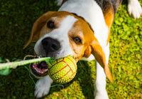 Beagle dog outdoors portraitof tricolor breed
