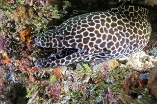 Grosse Netzmuräne, Honeycomb Moray Eel, Gymnothorax favagineus