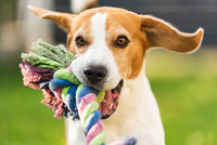 Beagle dog run outside towards the camera with colorful toy.