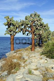 Baum Opuntie ( Opuntia echios),  Insel Santa Fe, Galapagos, Unes