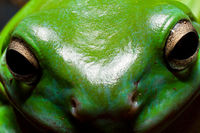 tree frog face