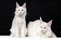 Two Maine Coon Cats on black and white background