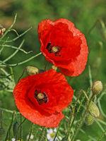 Zwei Blüten des Klatschmohns