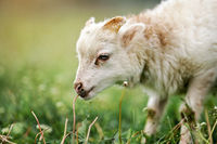 Young ouessant sheep or lamb, closeup detail on head, blurred green meadow background
