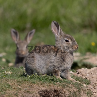 European rabbit, Common rabbit, Oryctolagus cuniculus sitting on a meadow at Munich