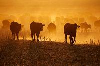 Silhouette of free-range cattle walking on dusty field at sunset