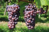Zellenberg, Frankreich, Trauben im Weinberg
