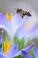 A bee and purple crocuses in the forest in February