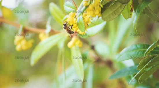 Honey bee collecting nectar in a sunlit bush with yellow blossom in springtime
