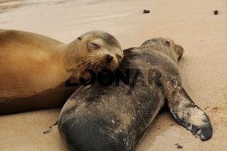 Seeloewen schlafen