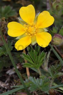 Frühlings-Fingerkraut, Potentilla naumanniana syn. verna, Spring Cinquefoil
