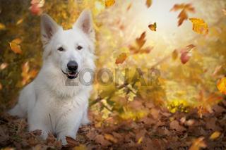 Weisser Schweizer Schäferhund im Herbst