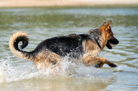Young happy German Shepherd, playing in the water. The dog splashes runs and jumps happily in the lake