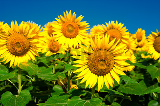 Sunflower field background under blue sky