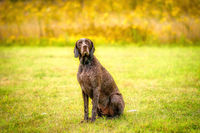 German Shorthaired Pointer, GSP dog looks at the camera in amazement while sitting in a park during a summer day. The brown dog is sitting in the grass