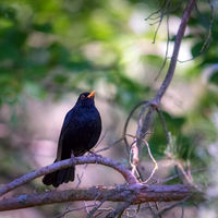 Male blackbird sitting on a branch in the forest