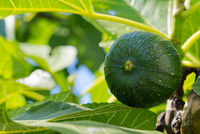 green unripe figs on a tree in sunny weather
