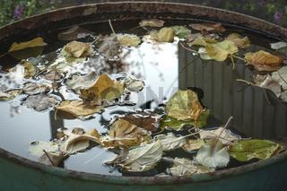 fallen apple leaves float in a barrel of rainwater