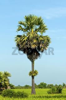 Zuckerpalme (Borassus flabellifer) inmitten grüner Reisfelder