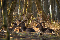 Group of fallow deer lying on the ground in sunlight